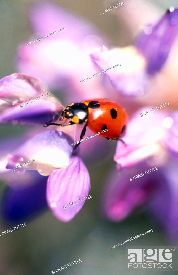 Stock Photo: Ladybug on flower. Oregon, USA.