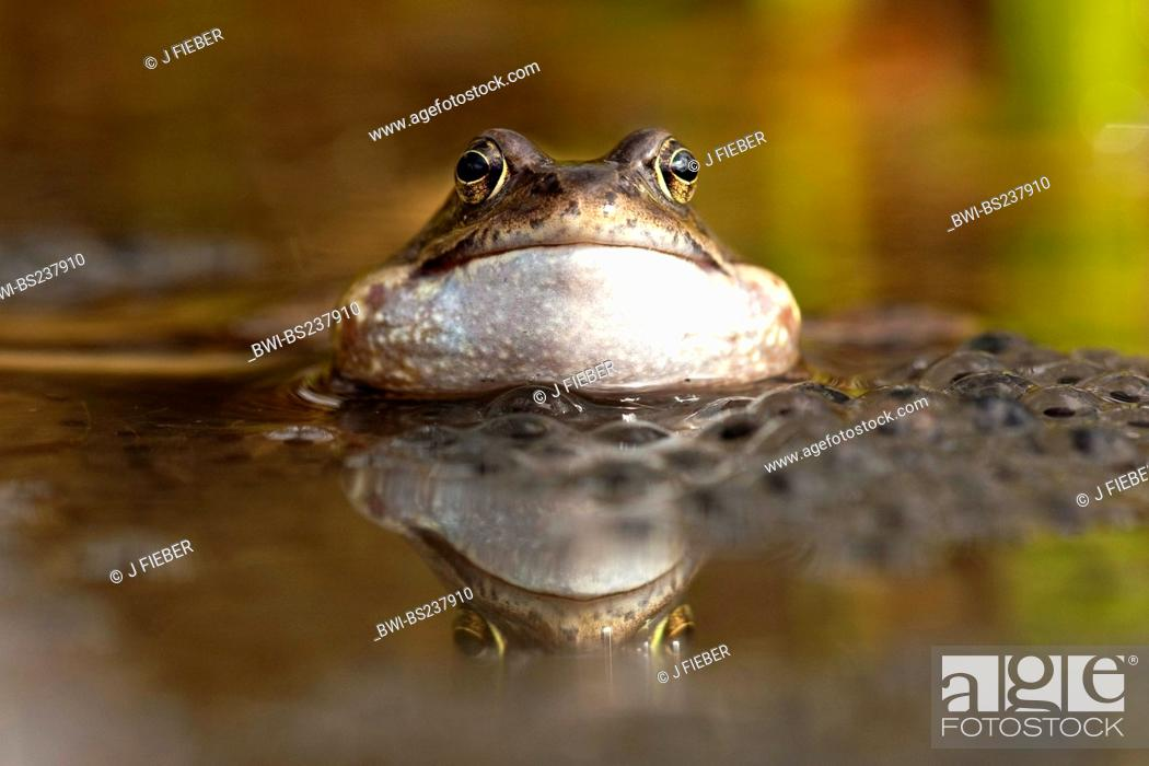 Stock Photo: common frog, grass frog Rana temporaria, sitting at a spawn clump, Germany, North Rhine-Westphalia.