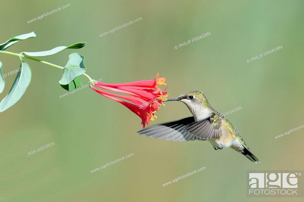 Imagen: A Ruby-throated Hummingbird (Lonicera caprifolium) fouraging on Honeysuckle, United States of America, Missouri, Blue Skies Prairie Reserve.