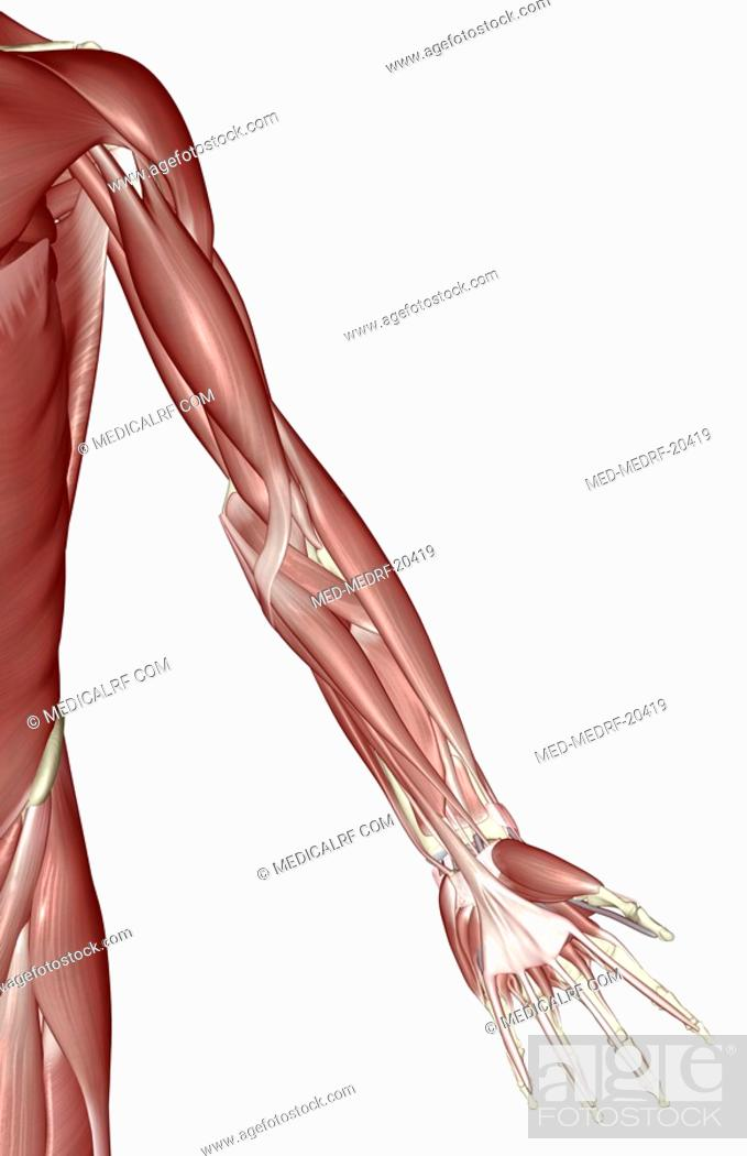 Stock Photo: The muscles of the upper limb.