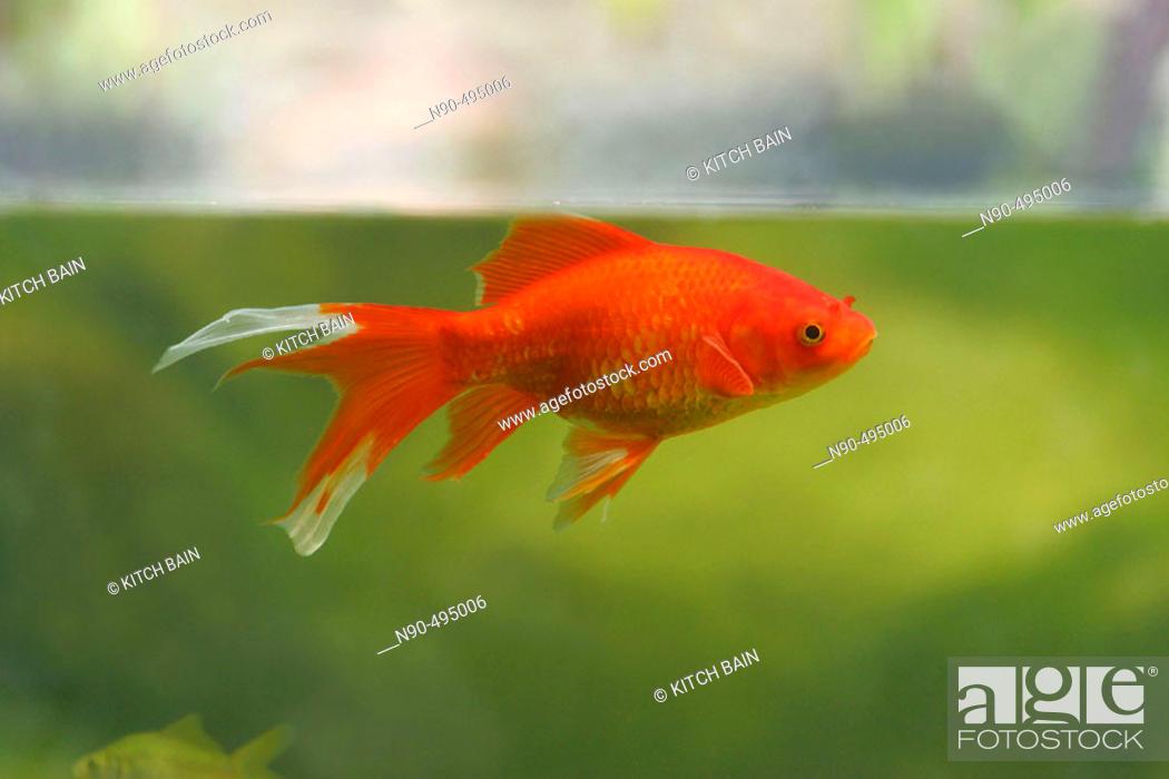 Stock Photo: Goldfish.
