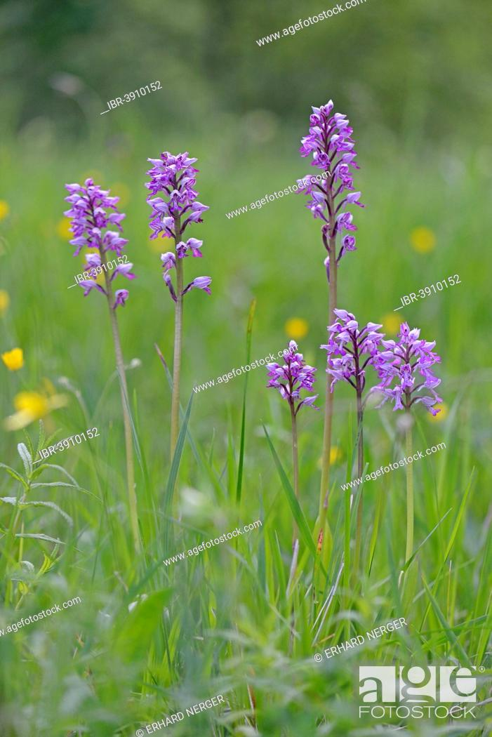 Stock Photo: Military Orchid (Orchis militaris), Baden-Württemberg, Germany.