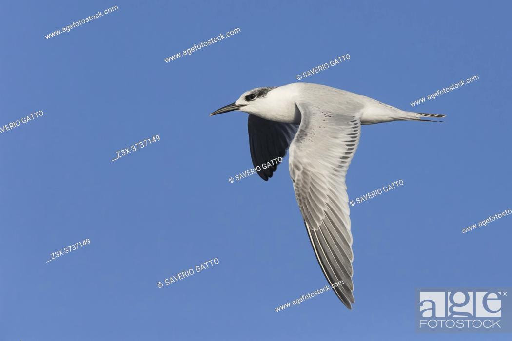 Stock Photo: Sandwich Tern (Thalasseus sandvicensis), side view of a juvenile in flight, Lazio, Italy.