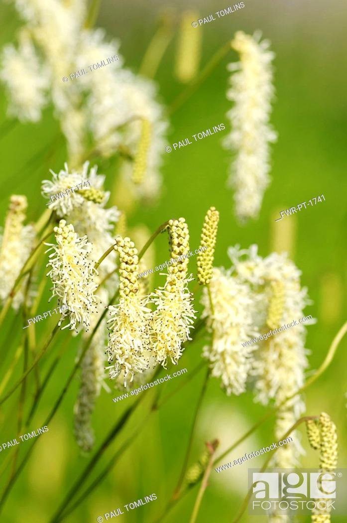 Burnet sanguisorba white tanna white fluffy flowers growing stock photo burnet sanguisorba white tanna white fluffy flowers growing outdoor mightylinksfo
