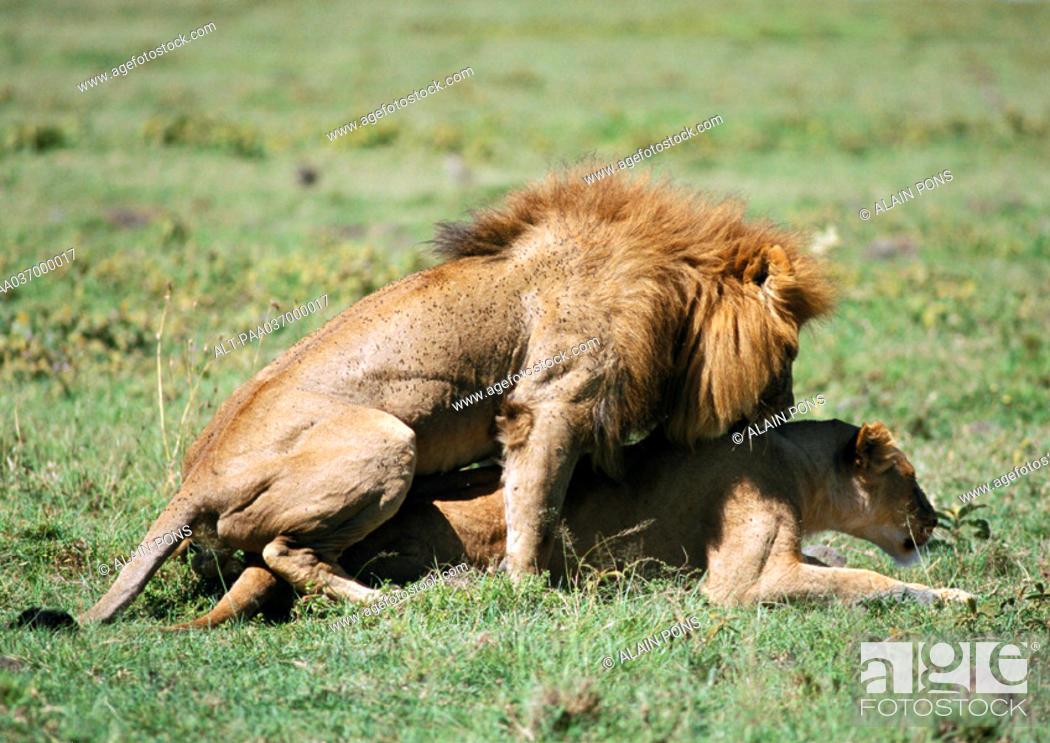 Stock Photo: Africa, Tanzania, lions coupling.