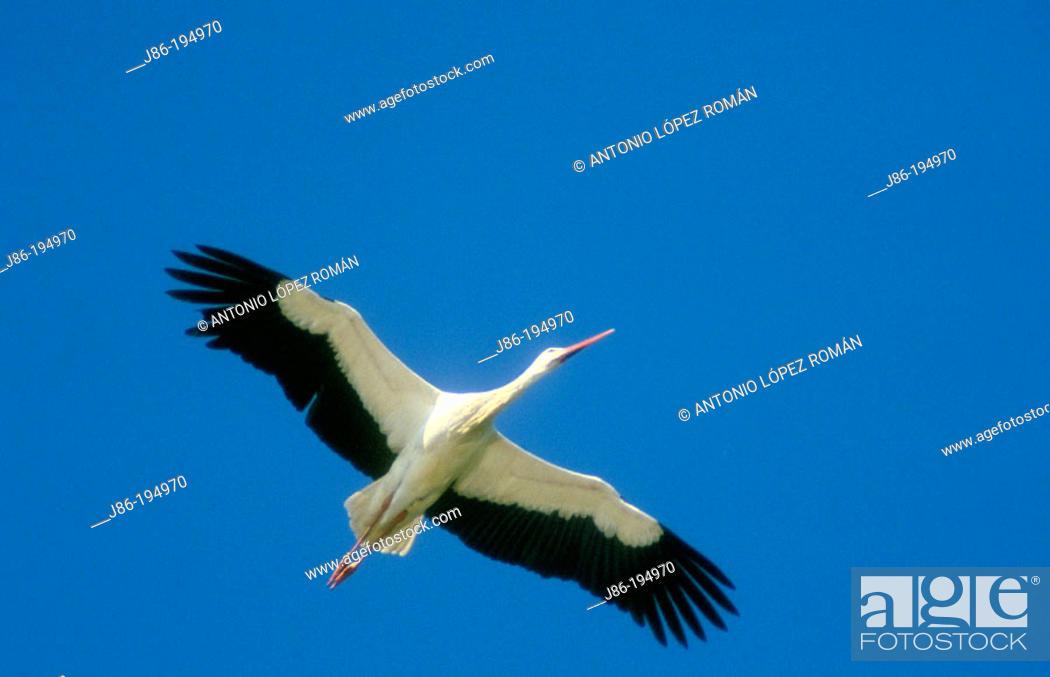Stock Photo: Stork (Ciconia ciconia).