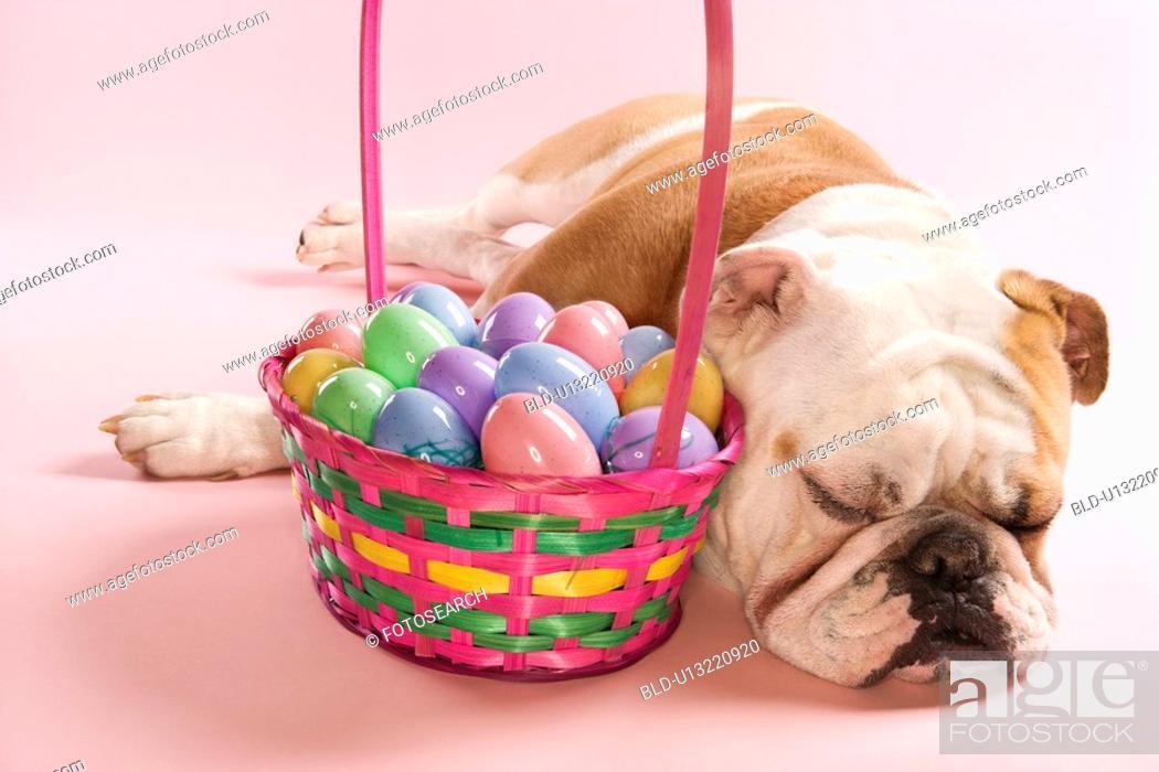 Stock Photo: Close-up of sleeping English Bulldog next to Easter basket on pink background.