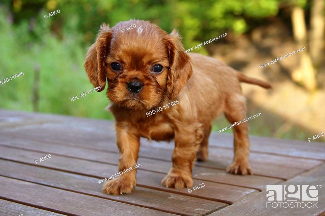 Cavalier King Charles Spaniel Puppy Ruby 6 1 2 Weeks Foto De Stock Imagen Derechos Protegidos Pic Rdc Ad 187086 Agefotostock