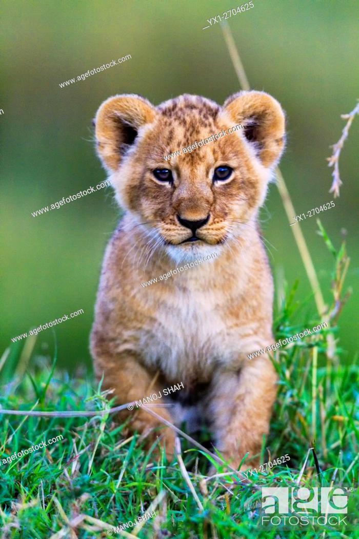 Stock Photo: LIon cub playing.