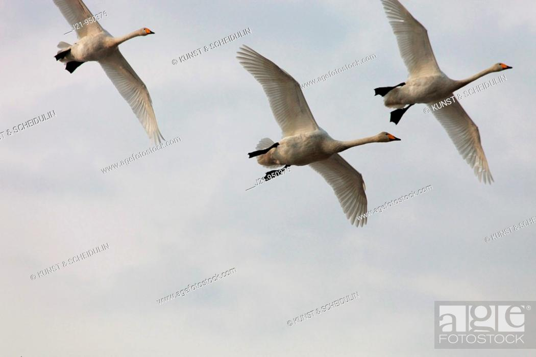 Stock Photo: Whooper swans Cygnus cygnus returning to their breeding areas in northern Sweden in spring  Västernorrland, Sweden.