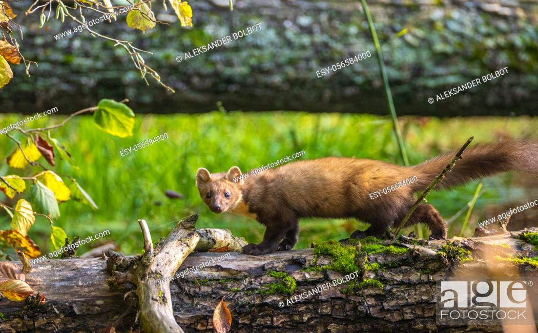 Stock Photo: Pine Marten (Martes martes) looking at camera, Bialowieza Forest, Poland, Europe.