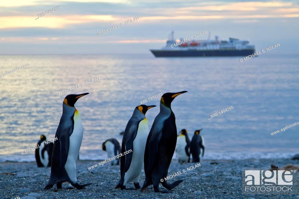 Imagen: A rare melanistic king penguin Aptenodytes patagonicus on South Georgia Island, Southern Ocean  MORE INFO A melanistic penguin has an over abundance of melanin.