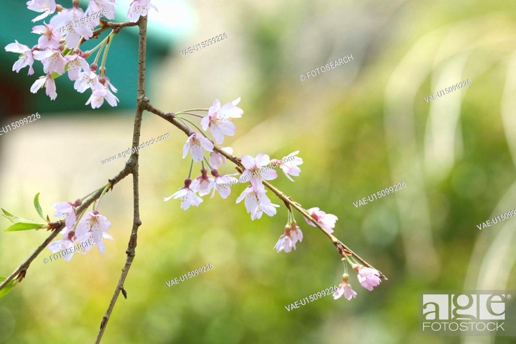 Stock Photo: Prunus spachiana.
