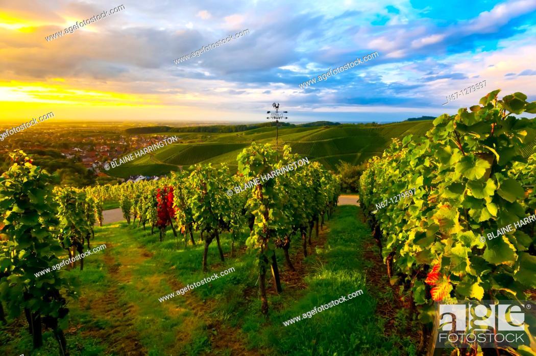 Stock Photo: Vineyards at sunset, Offenburg, Baden-Württemberg, Germany.