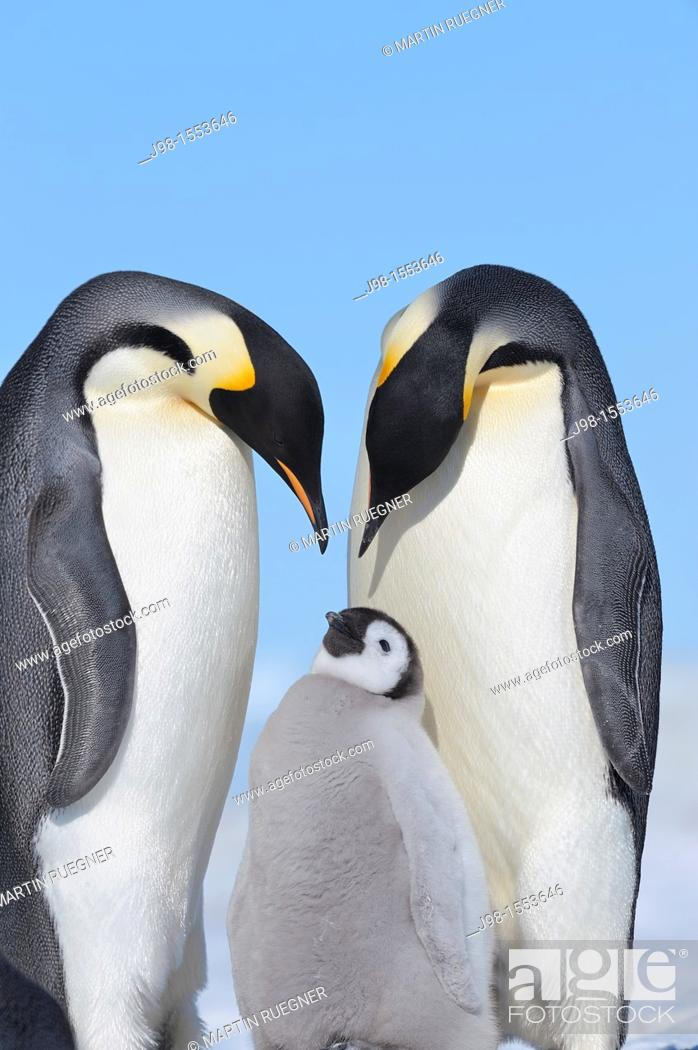 Stock Photo: Emperor Penguin Aptenodytes forsteri adult and chick  Snow Hill Island, Antarctic Peninsula, Antarctica.