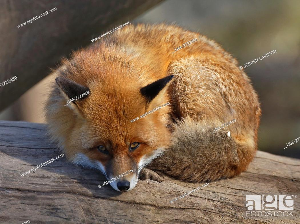 Imagen: Sweden, Stockholm, Red Fox (Vulpes vulpes) looking at camera.