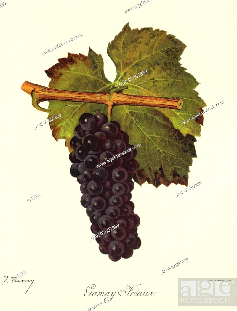 Stock Photo: Pierre Viala (1859-1936), Victor Vermorel (1848-1927), Traite General de Viticulture. Ampelographie, 1901-1910. Tome III, plate: Gamay Freaux grape.
