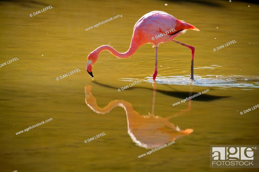Stock Photo: Flamingo in Wild, Galapagos Islands.