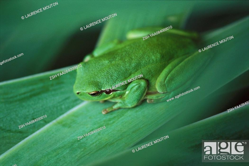 Stock Photo: Mediterranean Tree Frog Hyla meridionalis.