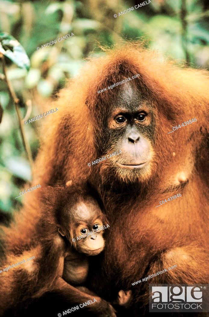 Stock Photo: Orangutan (Pongo pygmaeus) with young. Gunung Leuser National Park. Sumatra. Indonesia.