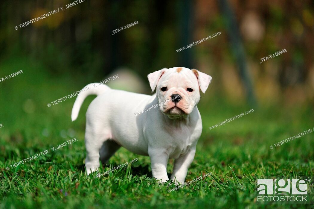 Continental Bulldog Puppy Stock Photo Picture And Rights Managed Image Pic Tfa Yj 09943 Agefotostock