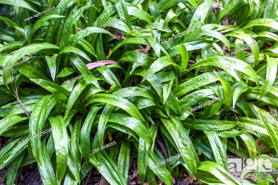 Imagen: Carex plantaginea, Sedge grass.