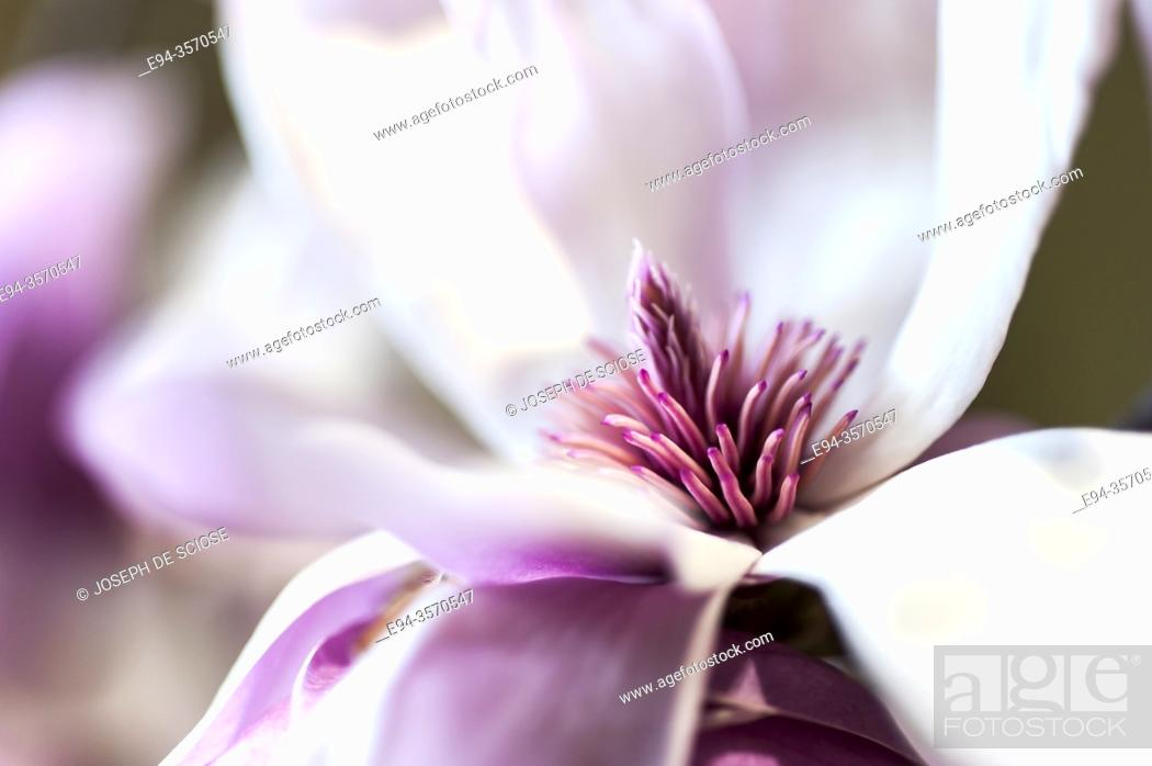 Imagen: Close up of magnolia flower.