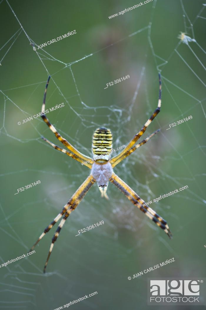Stock Photo: WASP SPIDER (Argiope bruennichi), Néouvielle Nature Reserve, Vallée d'Aure, L'Occitanie, Hautes-Pyrénées, France, Europe.