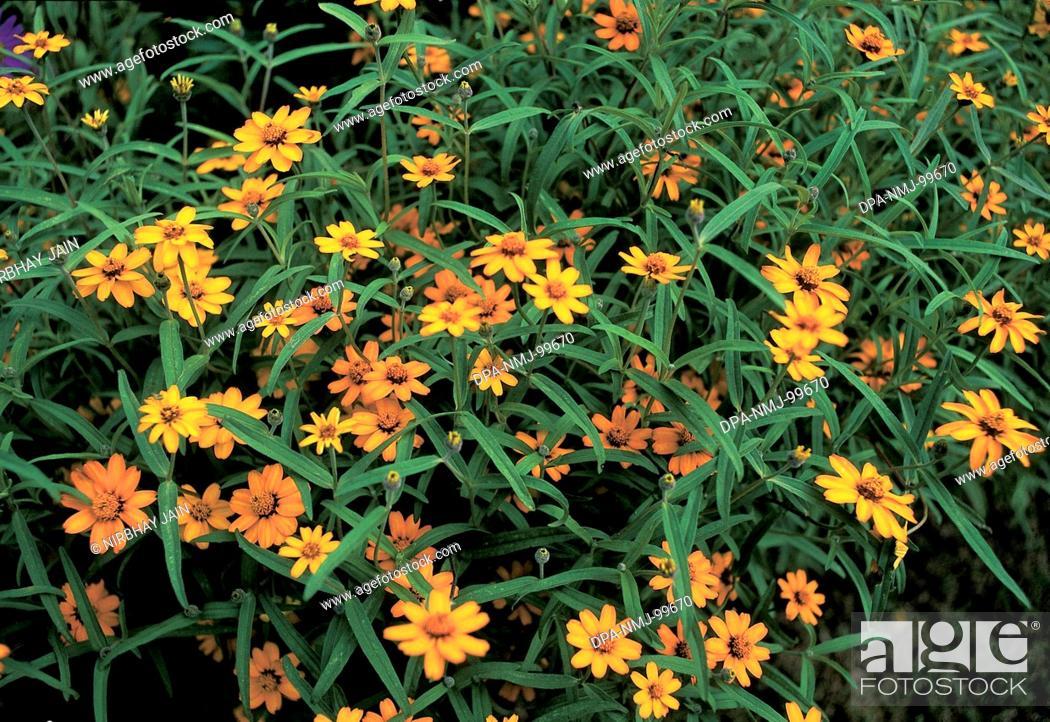 Yellow flowers mahabaleshwar maharashtra india stock photo stock photo yellow flowers mahabaleshwar maharashtra india mightylinksfo