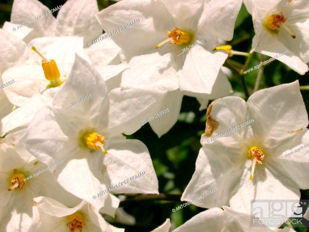 Stock Photo: Solanum sp.