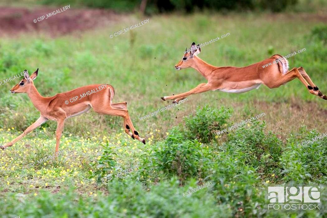 Stock Photo: impala in Tanzania national park.