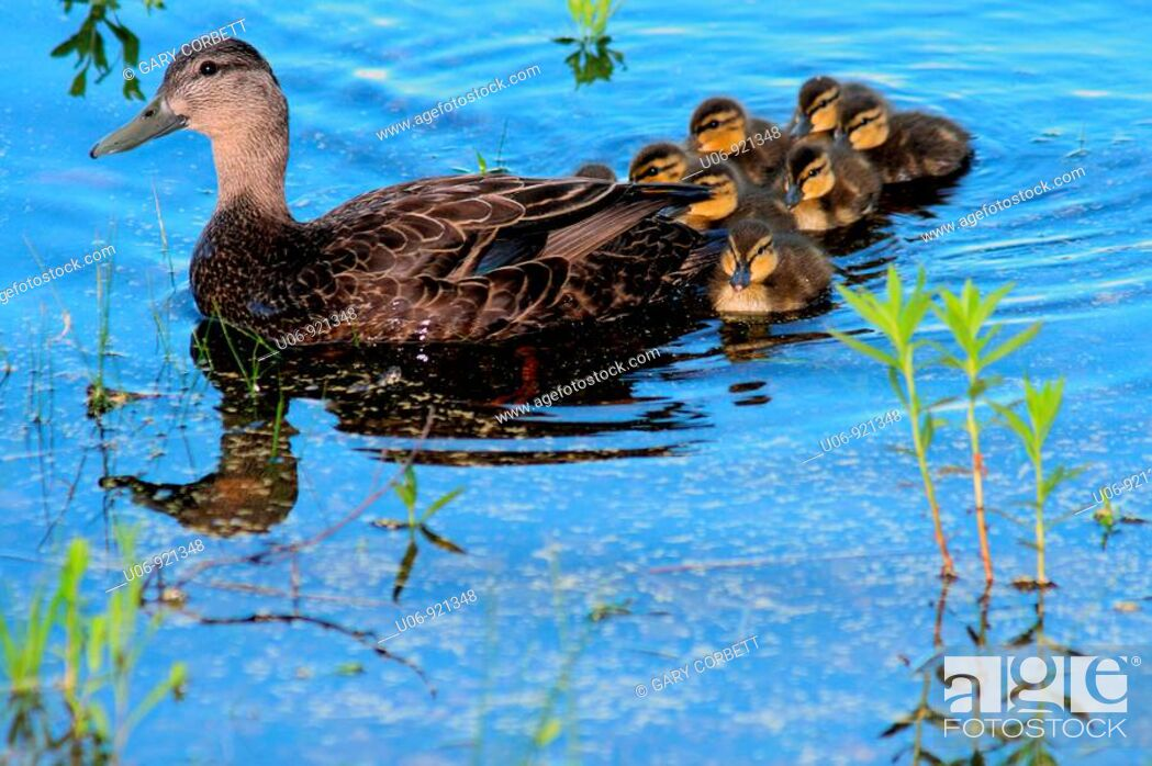 Stock Photo: a mother black duck with a brood of ducklings behind.