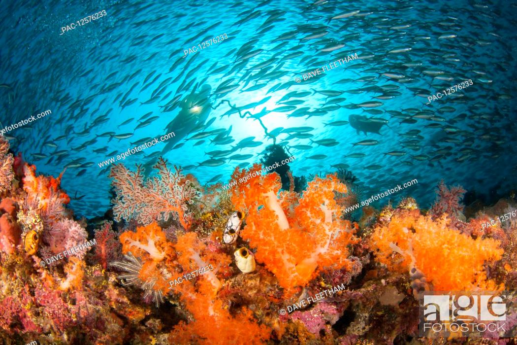 Stock Photo: Schooling fusiliers and alcyonarian coral dominates this reef scene with a diver; Komodo, Indonesia.