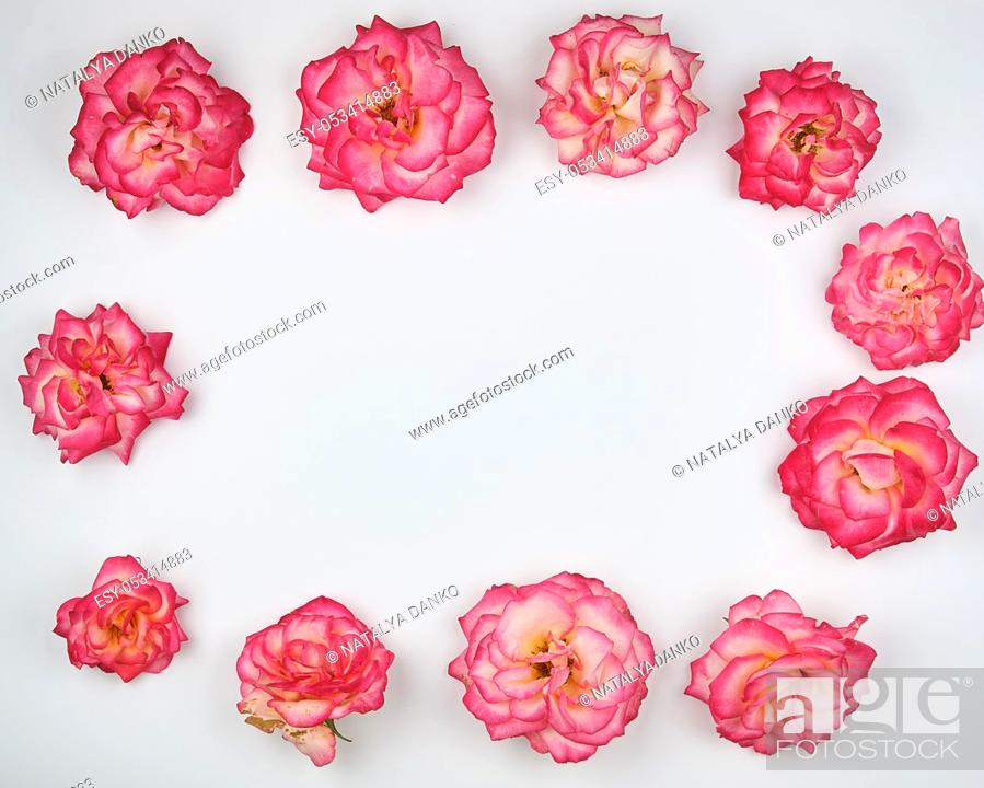 Stock Photo: blooming buds of a pink rose are laid out rectangularly on a white background, top view, copy space.