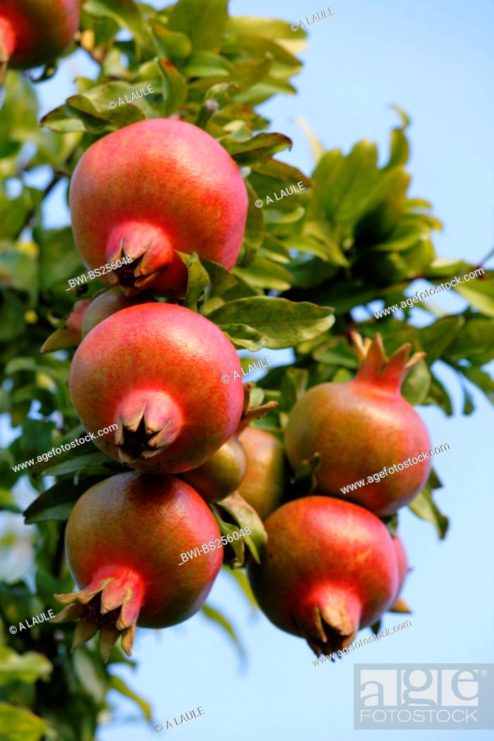 Stock Photo: pomegranate, anar Punica granatum, fruits at a brunch, Italy, Lake Garda.