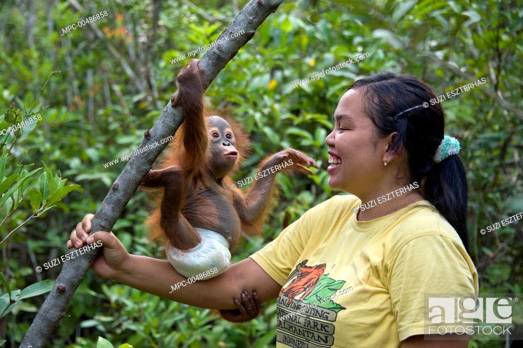 Stock Photo: Orangutan (Pongo pygmaeus) caretaker with infant playing in tree during forest exploration and training program, Orangutan Care Center, Borneo, Indonesia.
