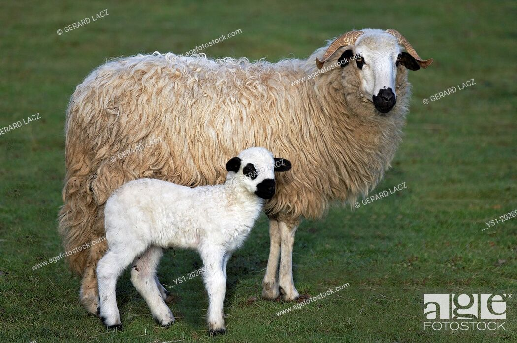 Stock Photo: Thones and Marthod Domestic Sheep, Ewe and Lamb.
