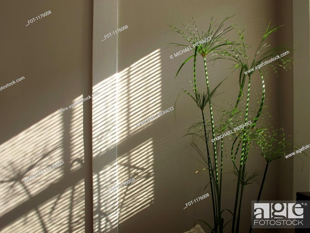 Stock Photo: Papyrus plant striped with sunlight and shadow through blinds, reflected on wall.