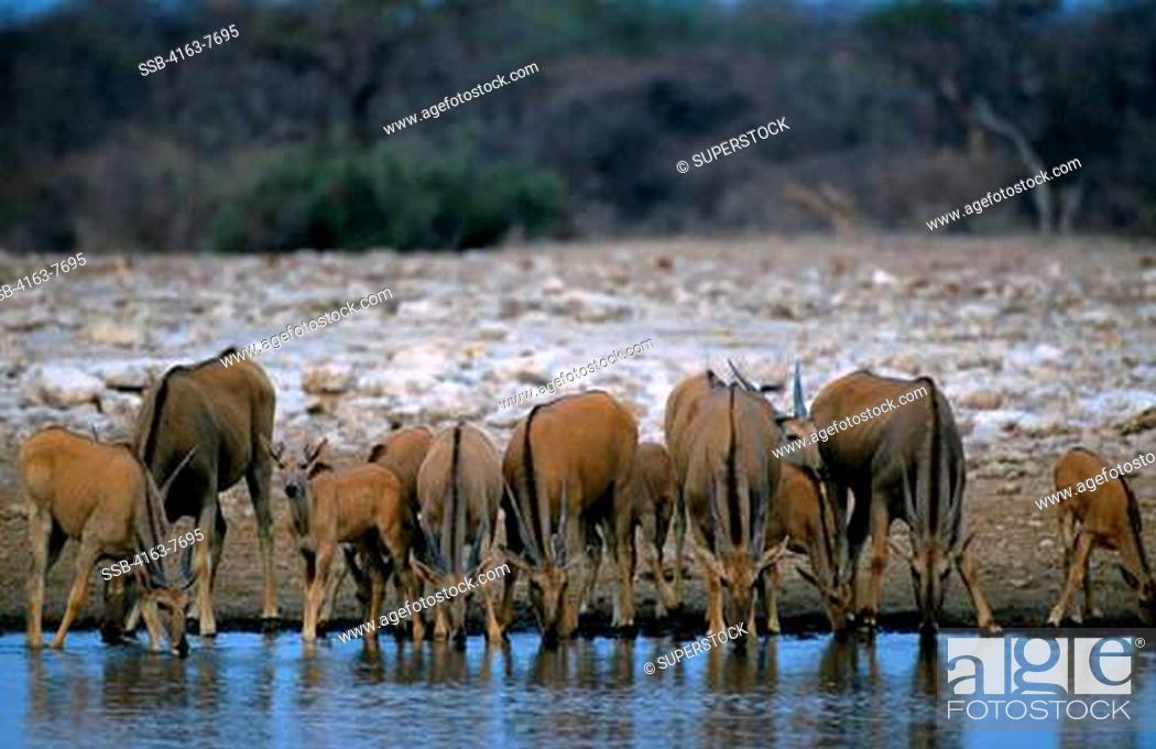 Stock Photo: NAMIBIA, ETOSHA NATIONAL PARK, ELAND HERD AT WATERHOLE.