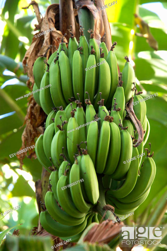 Stock Photo: Bananas on the tree, Costa Rica.
