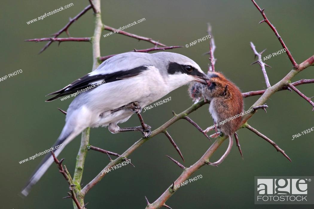 Stock Photo: Great Grey Shrike Lanius excubitor - Beerzerveld, Ommen, Salland, Overijssel, The Netherlands, Holland, Europe.