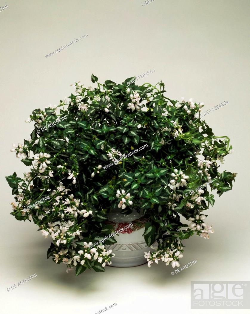 Stock Photo Spotted Deadnettle Lamium Maculatum White Nancy Lamiaceae
