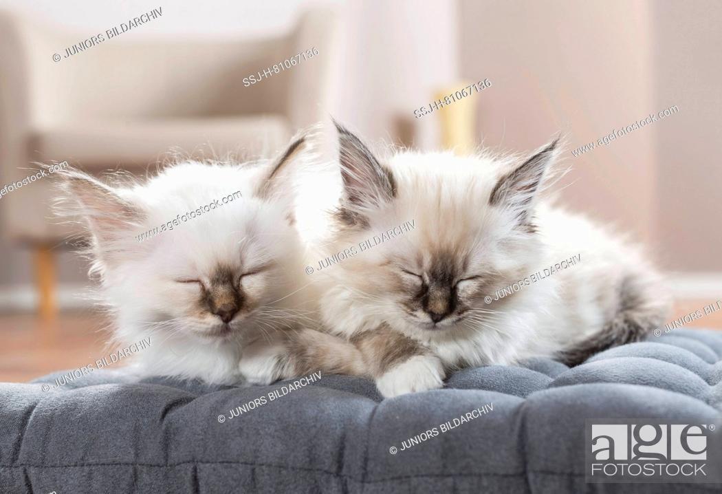 Stock Photo: Sacred cat of Burma. Two kittens sleeping on a cushion. Germany.