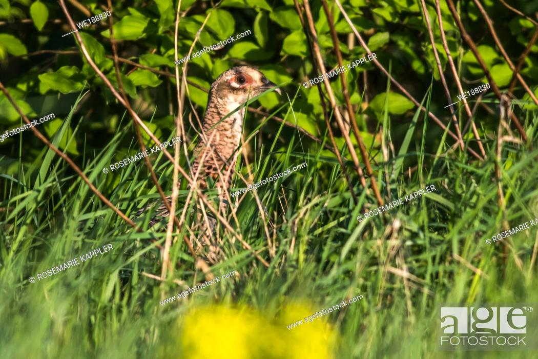 Stock Photo: A common pheasant is searching for fodder on a meadow.