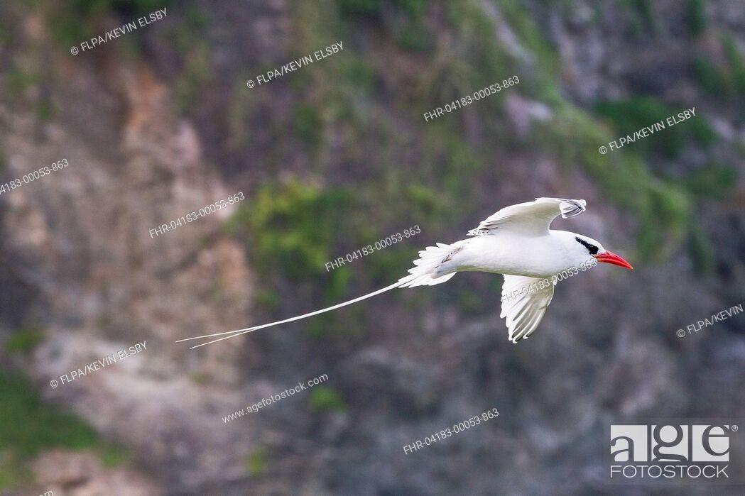 Stock Photo: Red-billed Tropicbird (Phaethon aethereus) adult, in flight, Little Tobago, Tobago, Trinidad and Tobago, November.