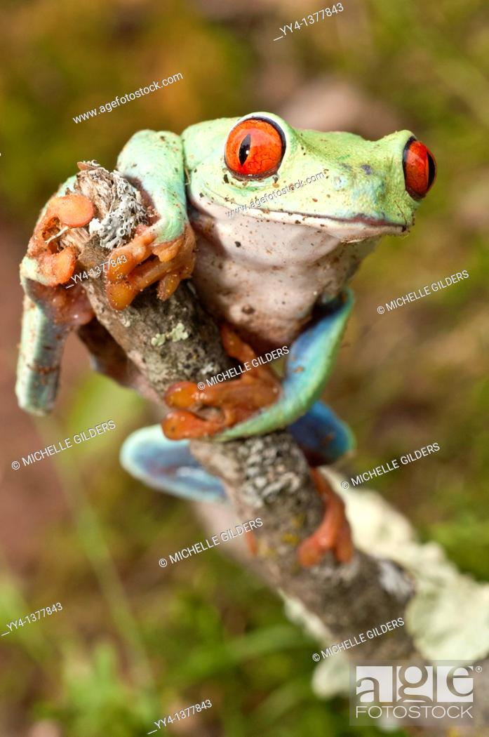 Stock Photo: Red-eyed tree frog, Agalychnis callidryas, native to Neotropical rainforests of Central America.