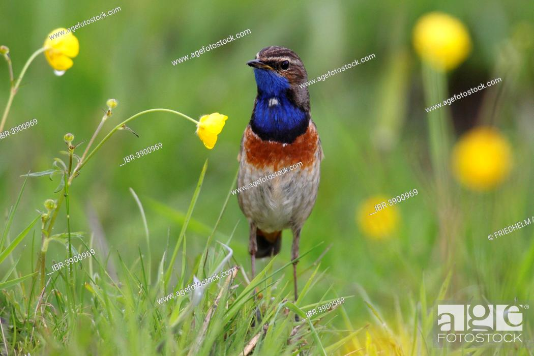 Stock Photo: Bluethroat (Luscinia svecica cyanecula), male perched on grass, attentive, Lauwersmeer National Park, Holland, The Netherlands.