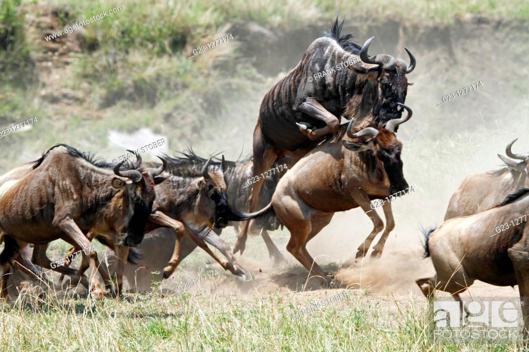 Stock Photo: Wildebeest in action.