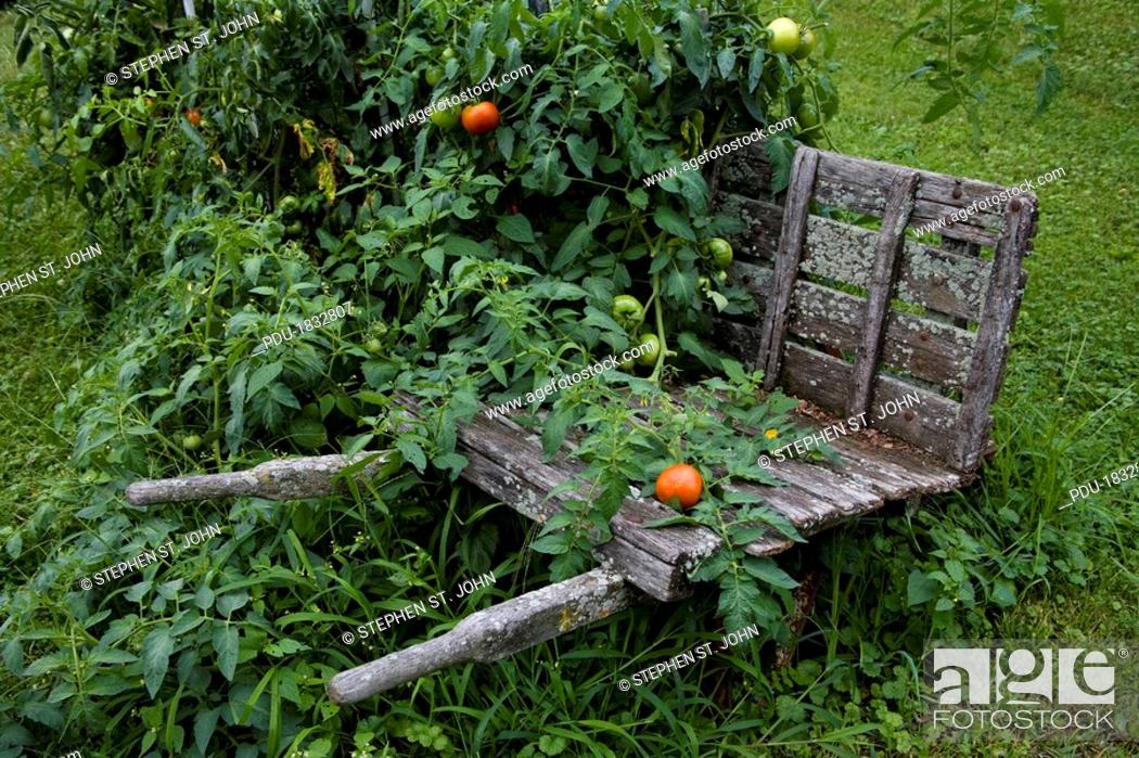 Stock Photo: An old wheelbarrow supports fresh summer tomatoes.