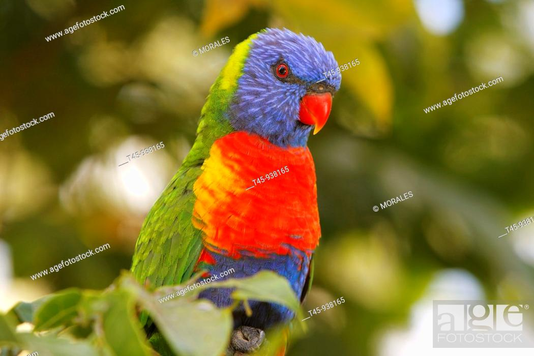 Stock Photo: Rainbow Lorikeet (Trichoglossus haematodus), Queensland, Australia.
